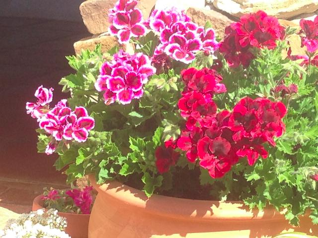 pelagonium-flower